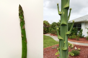 Comparison Between Asparagus and Agave Flower Stalks