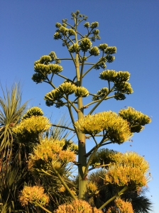 Agave Flowers Attract Honeybees