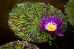 Purple Waterlily with Spotted Lilypad