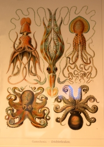 """Gamochonia"" Octopus Scientific Illustration by Ernst Haeckel"