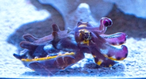 Purple and Yellow Australian Flamboyant Cuttlefish