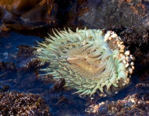 Green Anemone in Tidepool