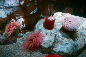 Pink Fish-Eating Anemones