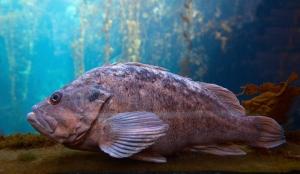 Rockfish in Kelp Forest