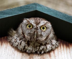 Screech Owl's Round Yellow Eyes