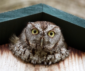 Screech Owl's Round Yellow Eyes
