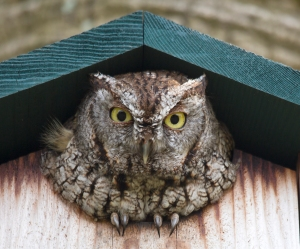 Screech Owl with Erect Feather Tufts