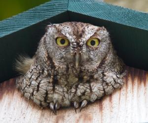 Screech Owl in Nest Box