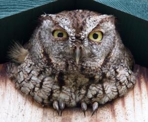 Screech Owl Wink
