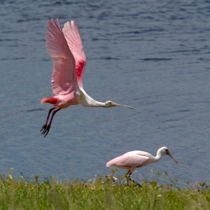 Adult Spoonbill Flying by Fledgling