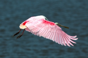 Colorful Adult Spoonbill Flying