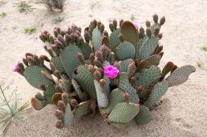 Flowering Opuntia Cactus