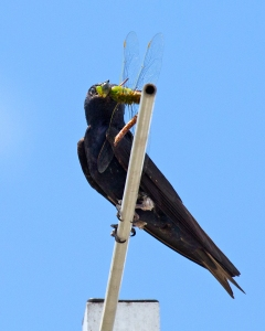 Closeup of Martin with Green Darner Dragonfly