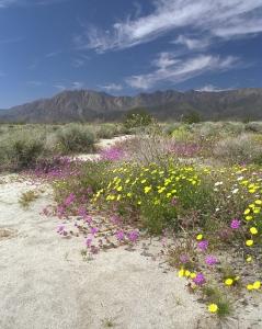 Epic Desert Flower Bloom in Spring 1998