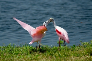 Young Spoonbill Being Fed