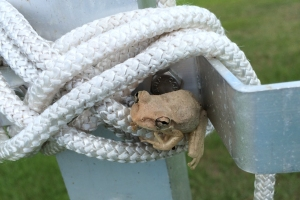 Frog Hiding in Martin Pole Pulley Rope