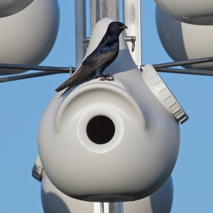 Adult Male Purple Martin on Top of Nesting Gourd
