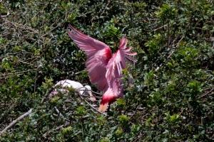 Spoonbill Landing on Nest