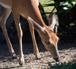 Close-up of Deer's Antler Buds