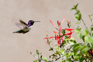 Costa's Hummingbird at Red Salvia in Dining Courtyard