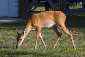 Deer Walking Across Lawn