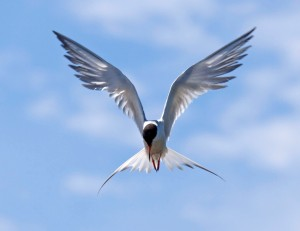Forster's Tern Hovering