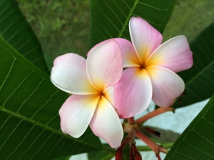 Fragrant Frangipani Flowers are used in Hawaiian Leis