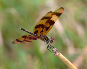 Halloween Pennant Dragonfly by Pond