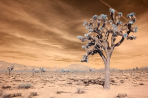 Joshua Tree Landscape in Infrared