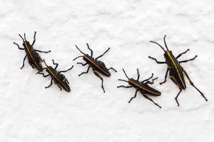 Lubber Grasshopper Babies