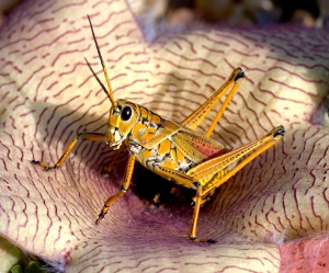 Lubber Grasshopper Sitting in Stapeliad Starfish Flower