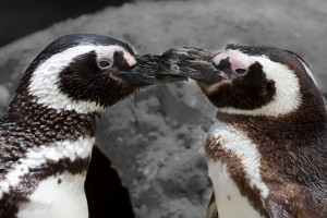 Magellanic Penguin Pair