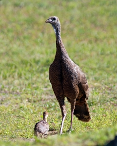 Mama Turkey with Her One Surviving Chick