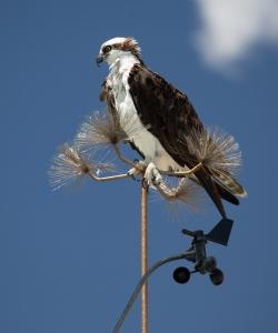 Osprey Sitting on Weather Station