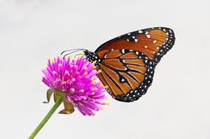 Queen Butterfly on Fireworks Gomphrena Flower