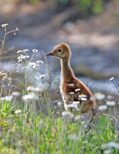 Sandhill Crane Chick and Daisies