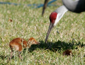 Sandhill Crane Feeding Young Chick