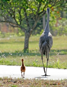 Sandhill Cranes Walking Away in Step