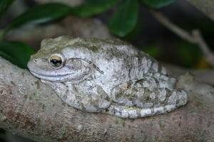 Cuban Tree Frog Camouflage