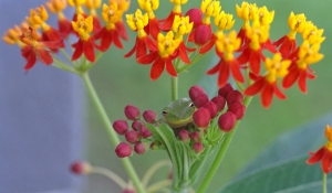Green Tree Frog in Milkweed Flowers