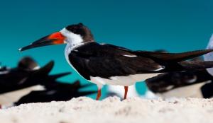Black Skimmer on Beach