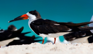 Black Skimmer on Beach
