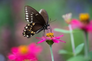 Black Swallowtail Butterfly on Pink Zinnia Flower