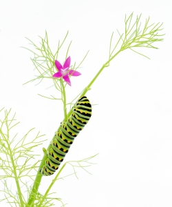 Black Swallowtail Caterpillar (white background)