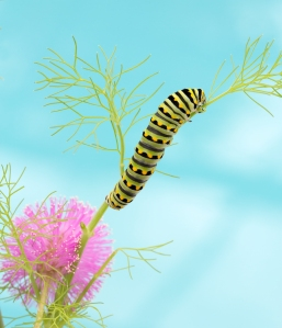 Black Swallowtail Caterpillar (blue background)