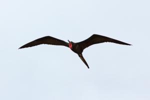 Rare Frigatebird Sighting (notice red throat pouch)