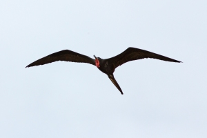 Rare Frigatebird Sighting (notice red throat pouch)