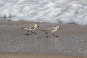 Sanderlings Running Back and Forth with the Ocean Waves
