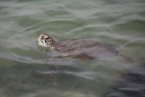 Sea Turtle Head Above Water
