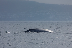 Blue Whale Surfacing (click any pictures to enlarge)